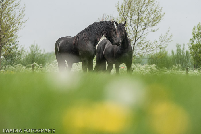Young stallions at Raepshille